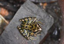 Frosch in Loquard